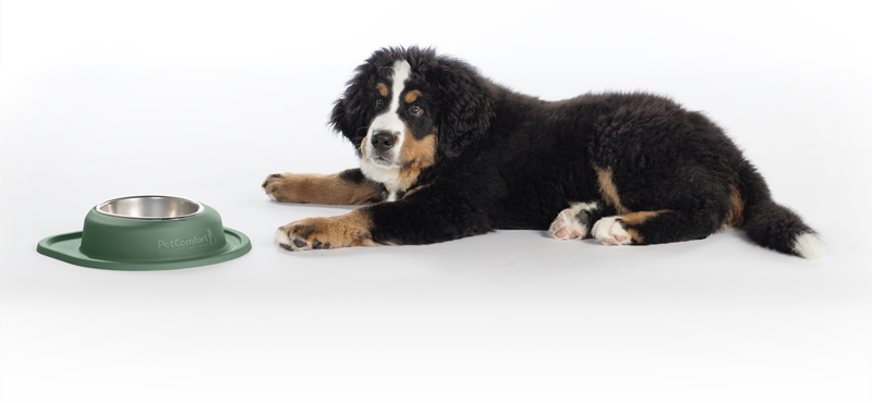 Bernese Mountain Dog and PetComfort Bowl
