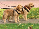 Dogs on a walk using the WeatherTech Pet Harness. BY WEATHERTECH