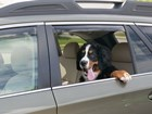 dog hanging out window with Side Window Deflector BY WEATHERTECH