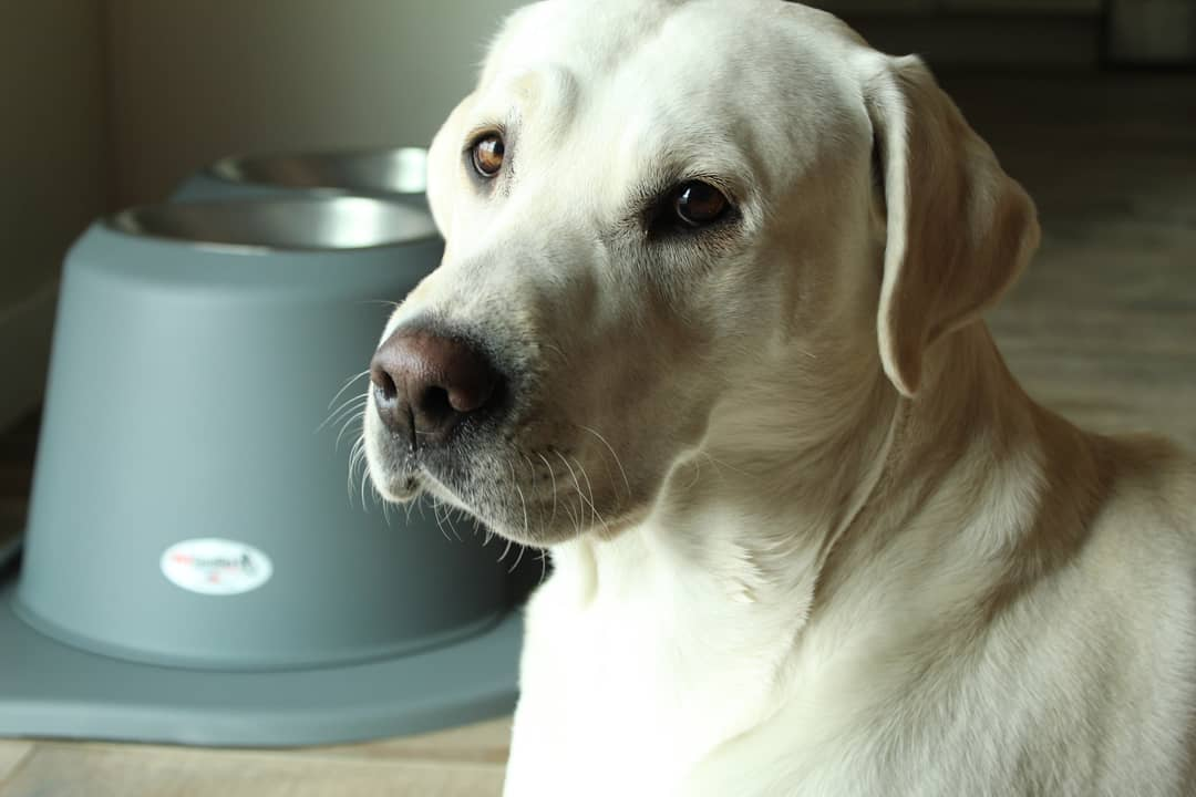 yellow lab and pet comfort feeding system.