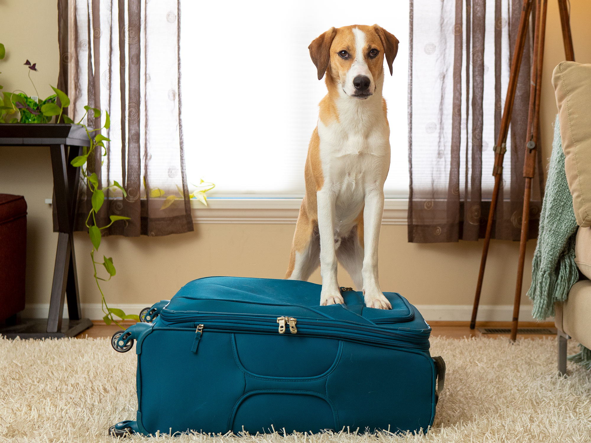 Tan and white dog standing on a blue suitcase.