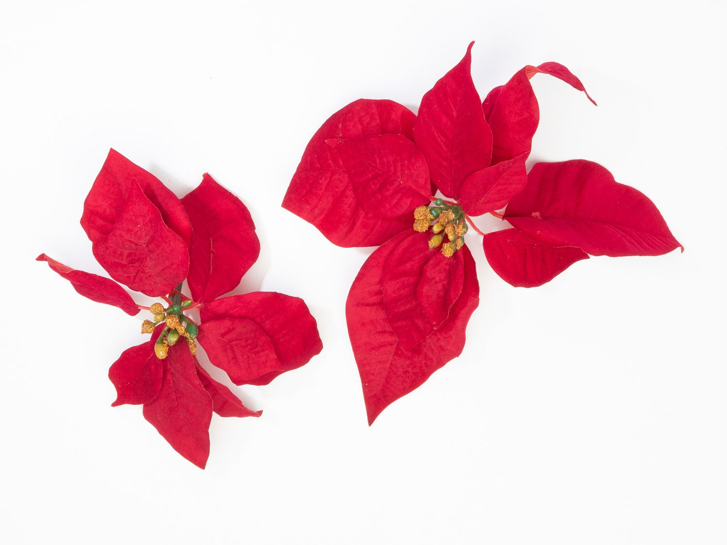 Poinsettias are only mildly toxic to dogs and cats.