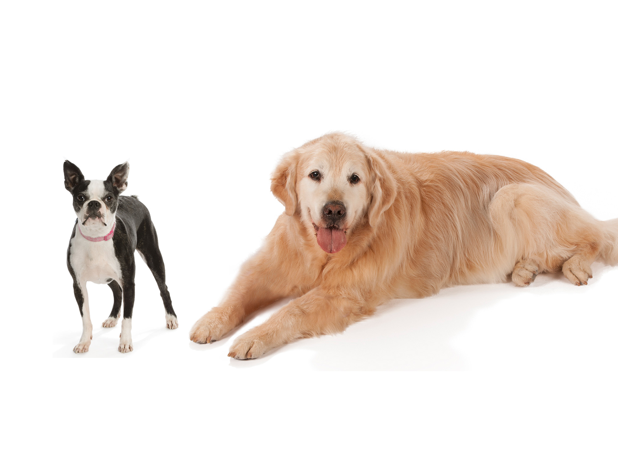 Boston_Terrier_and_Golden_retriever