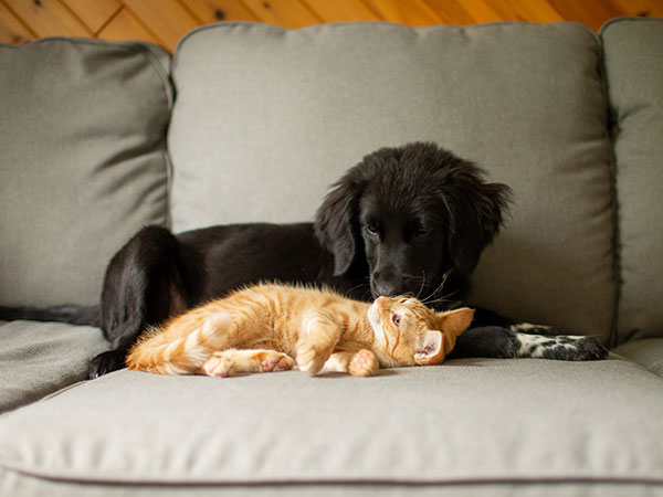 Cat and dog snuggling together on couch.