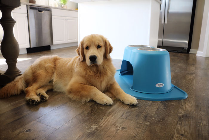 Golden retriever Bodie laying next to blue PetComfort Feeding System.