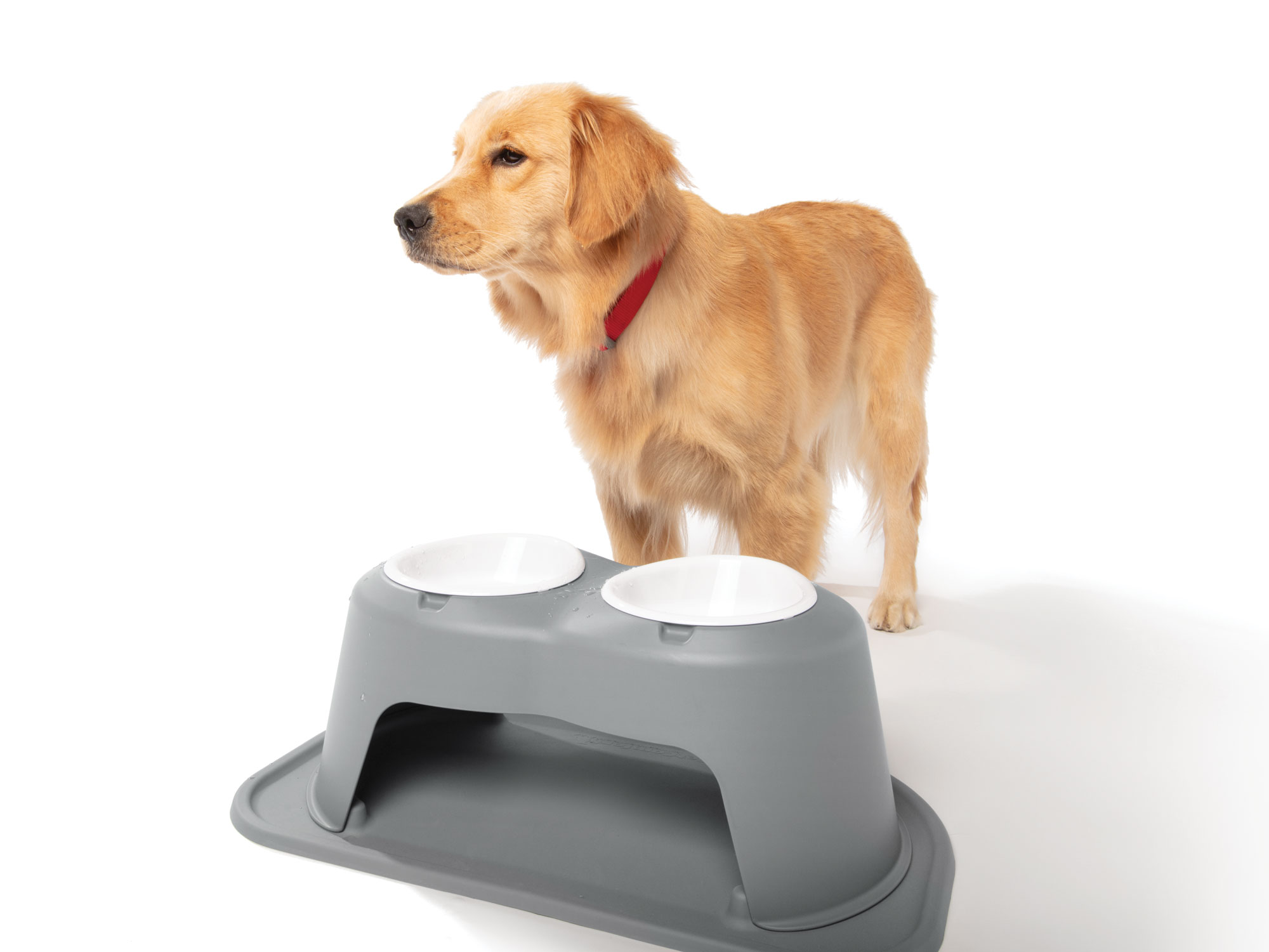 Double High Pet Feeding System in Gray with Golden Retriever taking a drink, leaving water on stand to prevent a mess underneath or to the sides