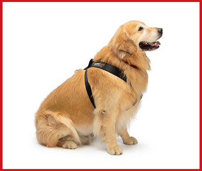 Photograph of a gold retriever wearing a Pet Safety harness in a studio.