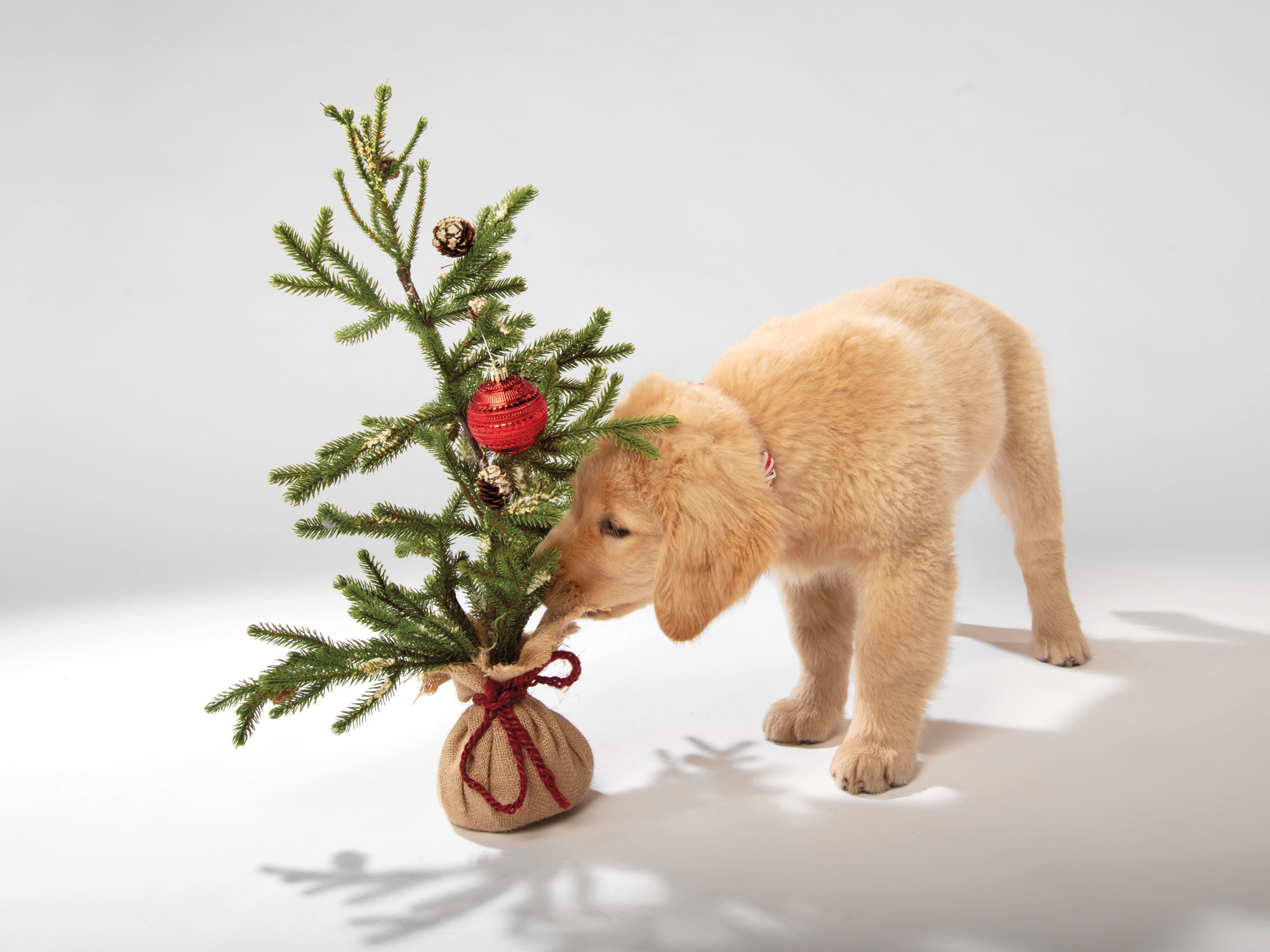 Pet safety tips for around your holiday plants