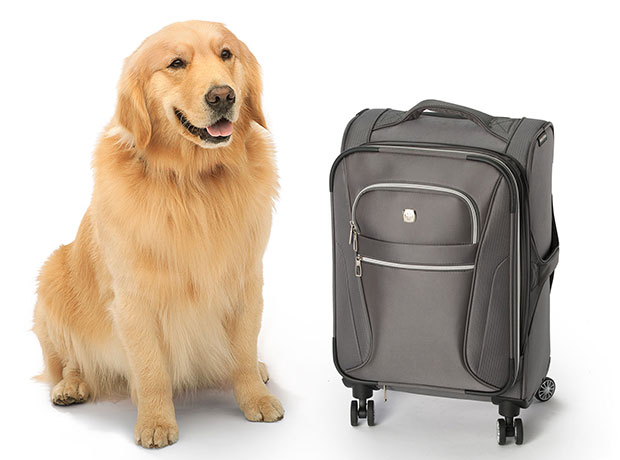 Photo of a golden retriever sitting next to a travel suitcase
