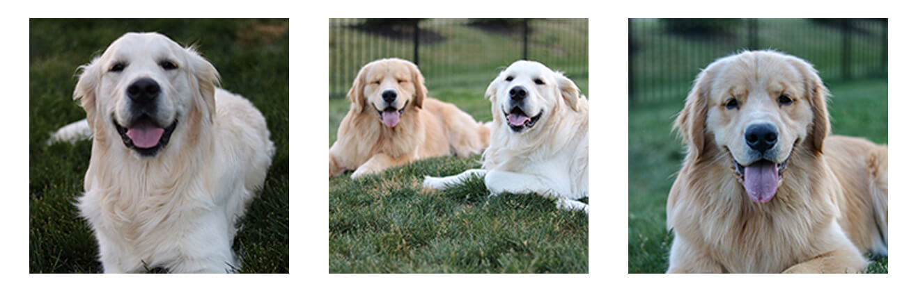 Three images of the two golden retrievers lounging in the grass.
