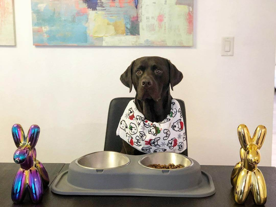 chocolate_lab_at_dinner_table